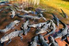 Behandla som ett barn alligatorer Arkivbilder