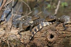 Behandla som ett barn alligatorer Fotografering för Bildbyråer