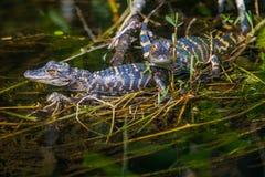 Behandla som ett barn alligatorer Arkivfoton