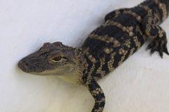 Behandla som ett barn alligatorn Fotografering för Bildbyråer