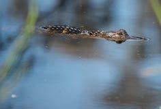 Behandla som ett barn alligatorn Royaltyfria Foton