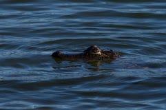 Behandla som ett barn alligatorsimning royaltyfria foton