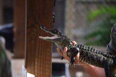Behandla som ett barn alligatorståenden Royaltyfri Foto