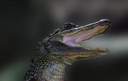 Behandla som ett barn alligatorståenden Arkivfoton