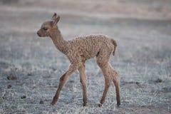 Behandla som ett barn Alpaca Royaltyfri Fotografi
