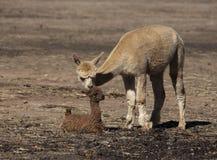 Behandla som ett barn Alpaca Royaltyfri Foto