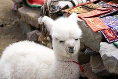 Behandla som ett barn alpaca på en lokalperuan marknadsför Arkivbilder