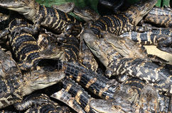 Behandla som ett barn amerikanska alligatorer Arkivbilder