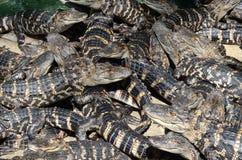 Behandla som ett barn amerikanska alligatorer 6 Royaltyfri Fotografi