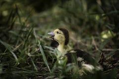 Behandla som ett barn anden i gräset Royaltyfria Foton
