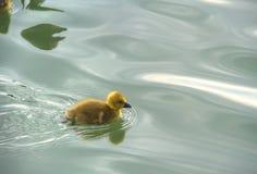 Behandla som ett barn anden på vatten Arkivfoton