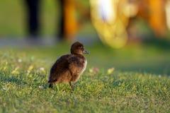 Behandla som ett barn anden som går i gräs Royaltyfria Foton