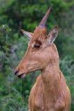 Behandla som ett barn antilop Royaltyfria Foton