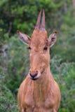 Behandla som ett barn antilop Fotografering för Bildbyråer