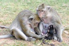 Behandla som ett barn apan som att dia mjölkar från hans moder Royaltyfri Bild