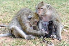 Behandla som ett barn apan som att dia mjölkar från hans moder Royaltyfria Foton