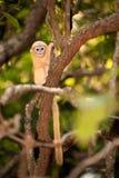 Behandla som ett barn apan på ett träd (den Presbytis obscuraen reid). Arkivfoto