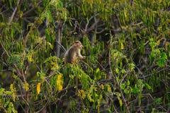 Behandla som ett barn apan sitter på ett grönt träd i djungel Royaltyfri Fotografi
