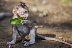 Behandla som ett barn apan som äter bladet Royaltyfri Fotografi