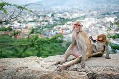 Behandla som ett barn apan som ansar för hans moder nära den Galta templet i Jaipur, Indien Royaltyfri Fotografi