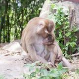 Behandla som ett barn apan som att äta mjölkar från modern, apa i skogen, phuket Arkivbild