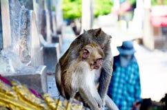 Behandla som ett barn apan som spelar på Wat Tham Khao Yoi Royaltyfri Foto