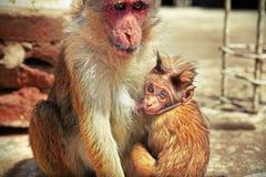 Behandla som ett barn apan som suger dess moder, mjölkar Fotografering för Bildbyråer
