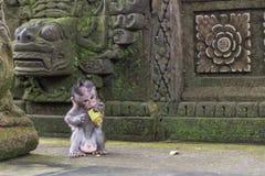 Behandla som ett barn att äta för apa Royaltyfria Foton