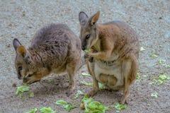 Behandla som ett barn att äta för känguru arkivbilder