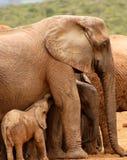 behandla som ett barn att dia för elefant Arkivbilder