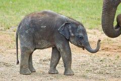 Behandla som ett barn att gå för elefant Arkivfoton