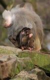 Behandla som ett barn att krama för baboons Arkivfoton