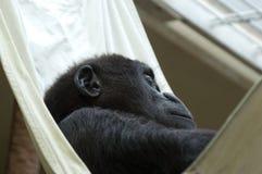 behandla som ett barn att sova för gorilla Royaltyfri Fotografi