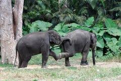 Behandla som ett barn att spela för elefanter Fotografering för Bildbyråer