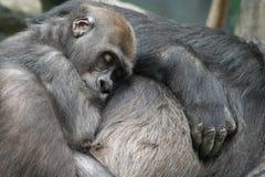 behandla som ett barn att ta sig en tupplur för gorilla Arkivbilder