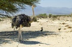 Behandla som ett barn av den afrikanska ostrichen (Struthiocamelusen) Arkivfoto