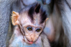 Behandla som ett barn av Lång-tailed, eller denäta macaquen som petar dess tunga, head skottet, den Bali ön, Indonesien Arkivbild