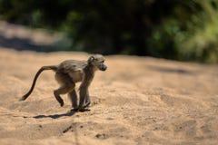 Behandla som ett barn babianen i den Kruger nationalparken Royaltyfri Fotografi