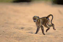 Behandla som ett barn babianen i den Kruger nationalparken Arkivbild