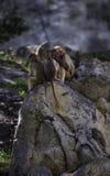 Behandla som ett barn babianer på NC-zoo Arkivbilder