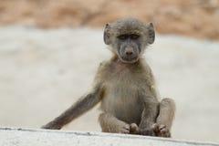 Behandla som ett barn baboonen Arkivfoton