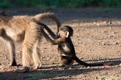 Behandla som ett barn baboonen som skrapar en annan baboons bula Arkivfoto
