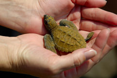 behandla som ett barn banahavssköldpadda w royaltyfria bilder