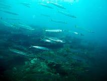 Behandla som ett barn Baracuda i det tropiska havet Royaltyfria Bilder