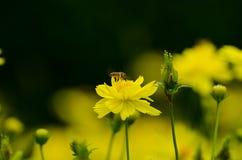 Behandla som ett barn biet Fotografering för Bildbyråer