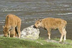 behandla som ett barn bisonen Arkivfoton