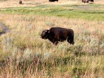 Behandla som ett barn bisonen (buffel) på Yellowstone Fotografering för Bildbyråer