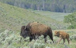 Behandla som ett barn bisonen som skuggar bak mamma i den Yellowstone nationalparken Arkivfoton