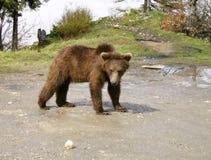 Behandla som ett barn björnen Fotografering för Bildbyråer