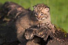 Behandla som ett barn blickar för bobcaten (lodjurrufus) ut från uppe på journal Royaltyfri Fotografi